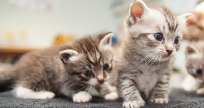Genome sequencing reveals cause of rare feline diseases