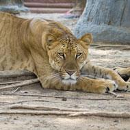 US petition to stop 'frankencat' breeding