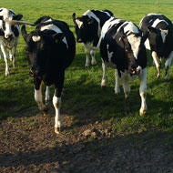 bTB incidence falls by 35 per cent in Welsh IAA