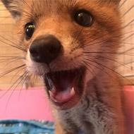Fox cub 'lodger' found under sofa