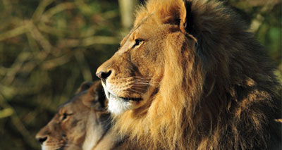 Lions under same threats as extinct Ice Age cats