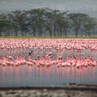 Scientists explain flamingo's unique pose