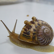 Rare 'lefty' snails produce first offspring