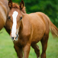 Foal born from vitrified immature oocyte in Belgium
