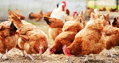Chickens may hold key to protecting humans from viruses
