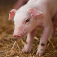 Pig embryo study sheds light on human development