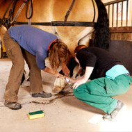 Study provides new insights on equine lameness