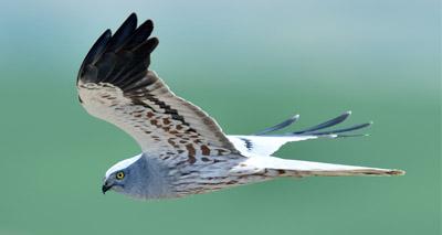 Hen harriers in decline, survey shows