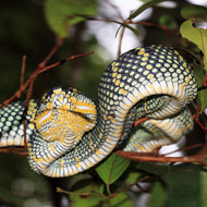 Snake venom protein could prevent blood clots
