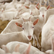 New 'goat plague' vaccine proves promising