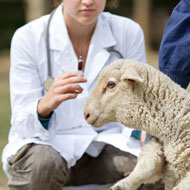 Sheep vets gain easy access to disease data