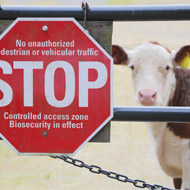 New foot-and-mouth approach could limit culling