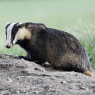 Targeted badger cull to take place in Wales
