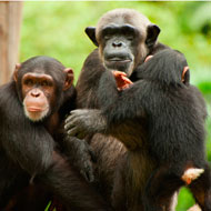 Dramatic variations seen in chimp communities