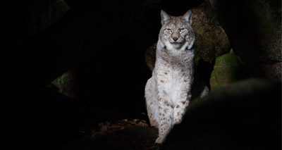 Lynx UK Trust submits reintroduction application