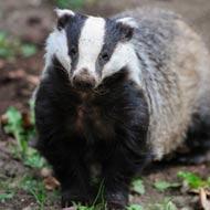 Wildlife groups resume badger vaccination schemes