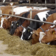 Contaminated feed 'most likely source' of BSE infection