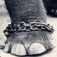 Increase in captive elephants kept in cruel conditions