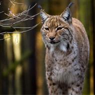 Current legislation will not allow Lynx release, NSA warns