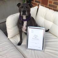 Staffy-cross Romeo wins PDSA Commendation award
