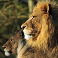 Born Free calls for greater lion protection