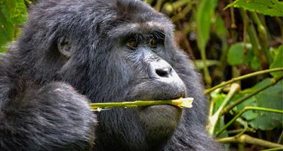 Students assess human disease risk to mountain gorillas