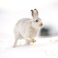Calls to tackle mountain hare persecution