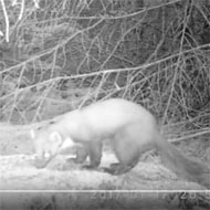 Pine marten spotted in Yorkshire
