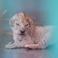 Lioness gives birth after Aleppo rescue