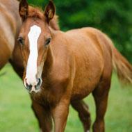 'Winter foals' smaller than herd mates born later