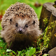 Census to investigate nation's hedgehog homes