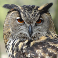 Study reveals 'Harry Potter effect' on Indonesian owl trade