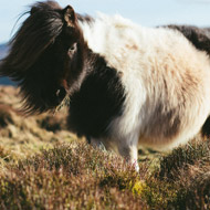Police launch appeal after Shetland ponies attacked