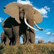 Freeze-dried dung gives insights into elephant stress
