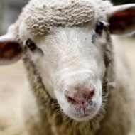 Sheep producers urged to vaccinate against enzootic abortion