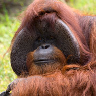 Orang-utan known for sign language abilities has died