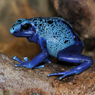 Foster tadpoles 'trigger parental instinct in poison frogs'