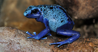 Foster tadpoles 'trigger parental instinct in poison frogs'