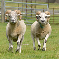 New insights 'could boost sheep health and productivity'