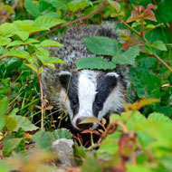 Badger culling banned on Cheshire East Council land