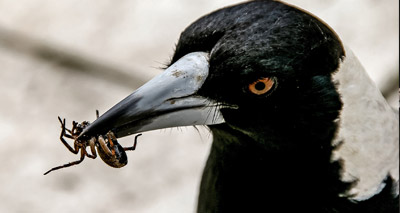 Australian magpie 'dunks' food before eating