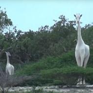 Rare white giraffes spotted in Kenya
