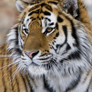 Wild tigers to return to Kazakhstan
