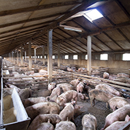 Issues with antimicrobial use in livestock