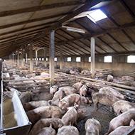 Image: Pig livestock
