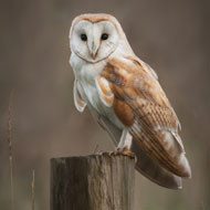 Barn owls 'have ageless ears'