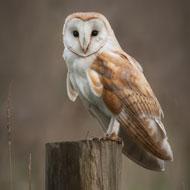 Barn owls 'have ageless ears'