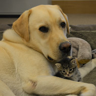 Labrador and kitten strike up unlikely friendship