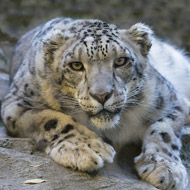 Snow leopard removed from endangered list