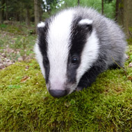 Badger vaccination scheme relaunched